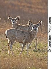 Mule Deer Saskatchewan Prairie Canada