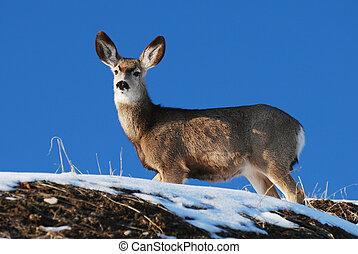 Mule Deer - Utah mule deer standing on snow covered hillside...