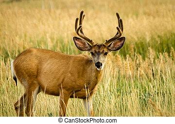Mule Deer - Young mule deer buck standing in a field of tall...