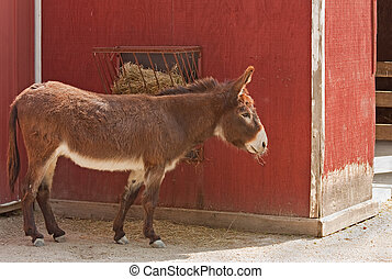 Mule eating hay next to a barn