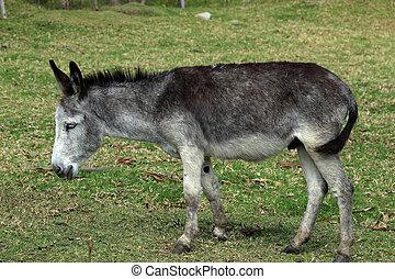 A mule grazing beside a bush in a farmers pasture in Cotacachi, Ecuador