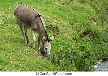 A Jerusalem Donkey grazing in a pasture next to a river on a farm in Cotacachi, Ecuador