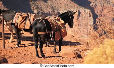 Mule resting at Grand Canyon - Mules resting point at Grand...