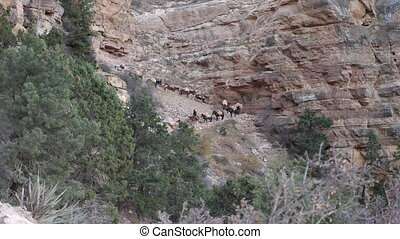 Mules down on trail at Grand Canyon - Convoy of mules...