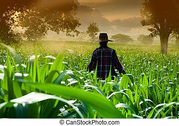 mulher caminhando, milho, agricultor, cedo, campos, manhã