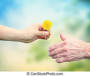 mulher jovem, dar, um, dandelion, para, mulher sênior