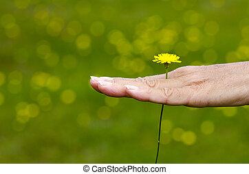 mulher segura, amarela, springtime, flor, em, mão