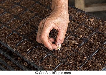 mulher, semear, mão, sementes, pepino, bandeja