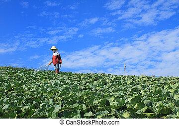 mulheres, é, trabalhando, em, repolho, agricultura, campos
