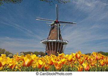 mulino vento, tulips