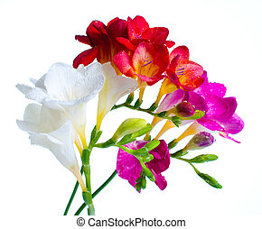 multi-colored freesias - Several branches of multi-colored...