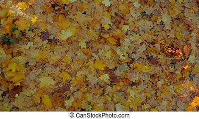 Multi Colored Leaves On The Ground In Forest. Panning. -...