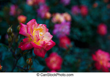 Multi-colored rose against the background of a garden of flowers.