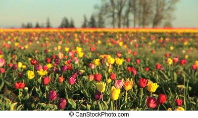 Multi-colored Tulip Field - Tulip festival, Woodburn, Oregon