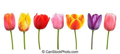 Multi-colored tulips in a row