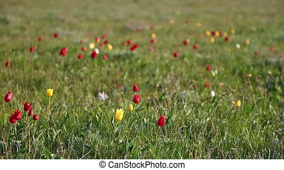Multi-colored tulips swaying in the wind