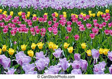 Multi-coloured field of tulips