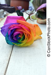 Multi coloured rose