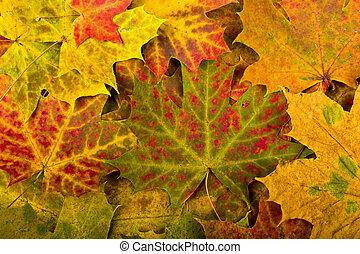 multi färgade, bladen, höst, bakgrund, fallen