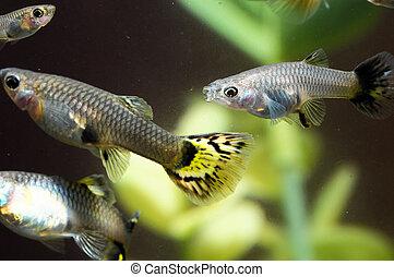 multi, guppy, colorido, peixe