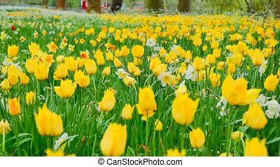 Multi yellow coloured tulips on nature background, serenity. Slider shot. Close up
