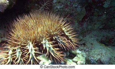 Multibeam spiky starfish Crown of Thorns Acanthaster planci underwater Red sea