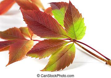 Multicolor autumnal grapes leaves (Parthenocissus...