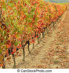 multicolor autumnal vine plants row in Tuscany, Italy, ...