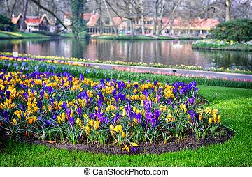 multicolor, azafranes, en, keukenhof, jardines