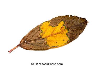 Multicolor dried autumn leaf
