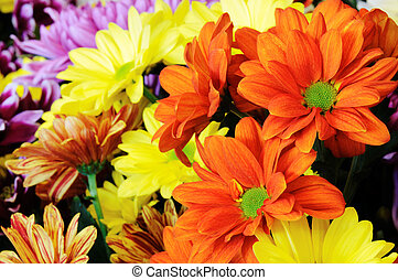 Multicolor gerber flowers. Macro