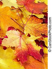 multicolor, hojas, caído, arce