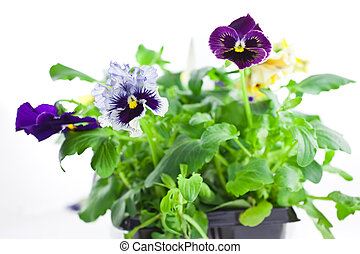 multicolor pansy\'s sprouts in plastic pots