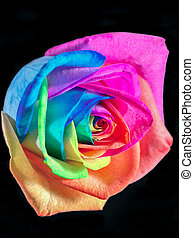 multicolor rose - Multicolor rose on black background