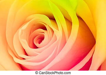 multicolor rose - close up of beautiful multicolor rose