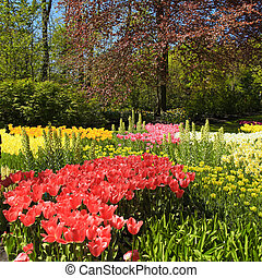 multicolor, tulipanes, árboles y flores, en, primavera, en, el, keukenhof, parque, holanda
