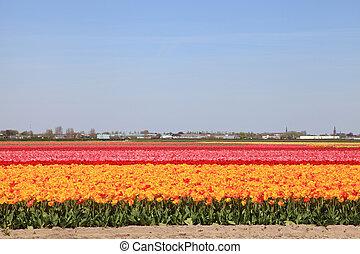multicolor, tulipanes, en, filas, en, países bajos, holanda
