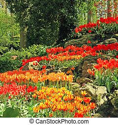 multicolor, tulipanes, en, primavera, en, holanda
