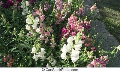 Multicolored Antirrhinum grows in garden - Multicolored...
