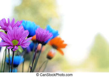 multicolored, bellis, blomster