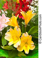 multicolored flowers freesia closeup with shallow depth of field