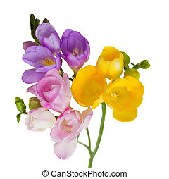 multicolored freesias brunch isolated on white background