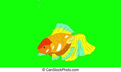 Multicolored Goldfish Floating in Aquarium Chroma Key -...