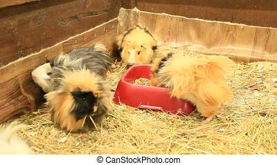 Multicolored guinea-pigs in zoo