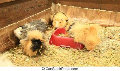 Multicolored guinea-pigs in zoo