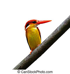 Black-backed Kingfisher - Multicolored Kingfisher bird, ...