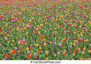 Multicolored tulip background in a park in Holland