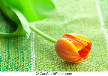 multicolored tulip lying on the fabric