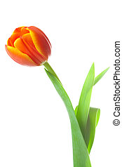 multicolored tulips isolated on white