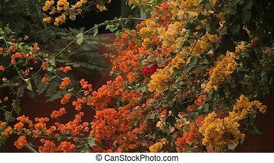 Multicoloured Bougainvillea Flower, Peru - Close-up...